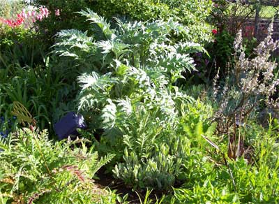 Our Cardoon (May 18)