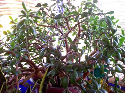 The ever growing Jade plant in the shaded corner of the greenhouse