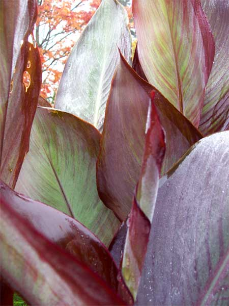 canna-lily-leaves