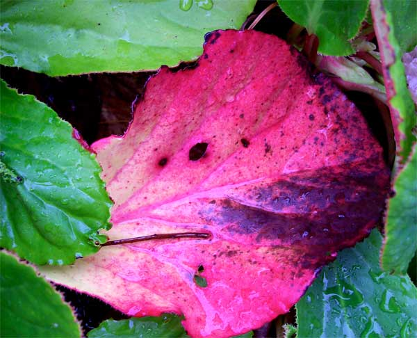 pink-bergenia-leaf