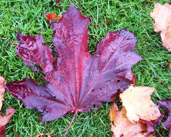 purple-leaf1