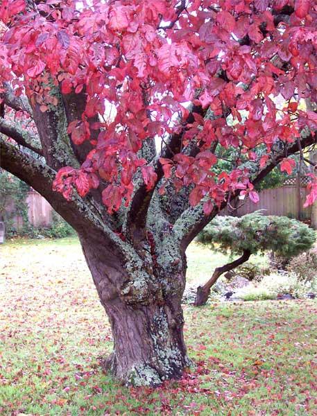 red-tree-w-moss