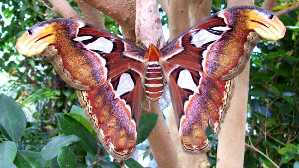 giant-atlas-moth