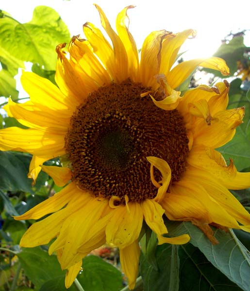 sunflower-in-sun