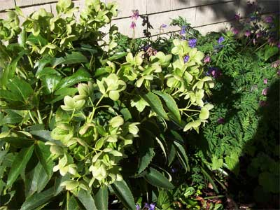 Hellebore (Peeking out from behind it, a Native Bleeding Heart)