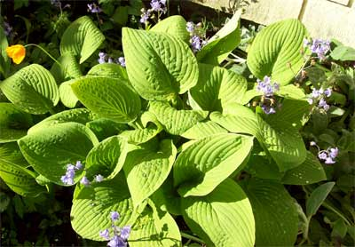 My fave Hosta, which later becomes a beautiful blue.