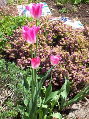 Happy tulips in the freshly weeded garden