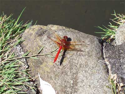 A beautiful crimson dragonfly by the lagoon in Beacon Hill Park