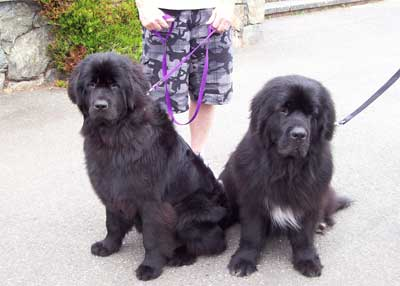 A pair of beautiful Newfoundlanders