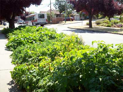 Potatoes and squash sprawling over the curb