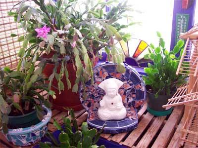 Little Buddha shrine under the Christmas Cactus