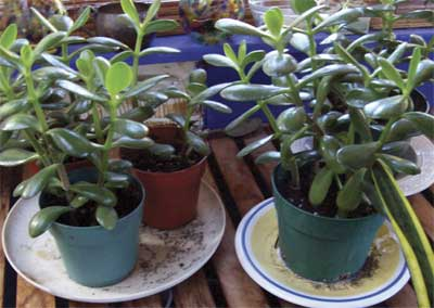 Jade plant cuttings waiting for new homes