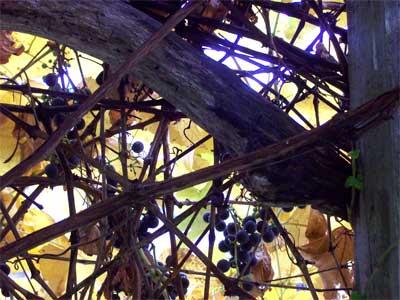 grape-arbour-nrml