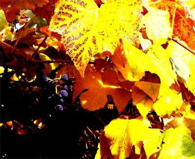 yellow grape photoshop