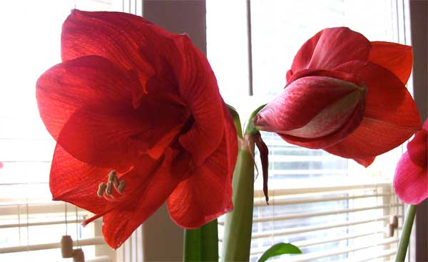big-red-all-blooms