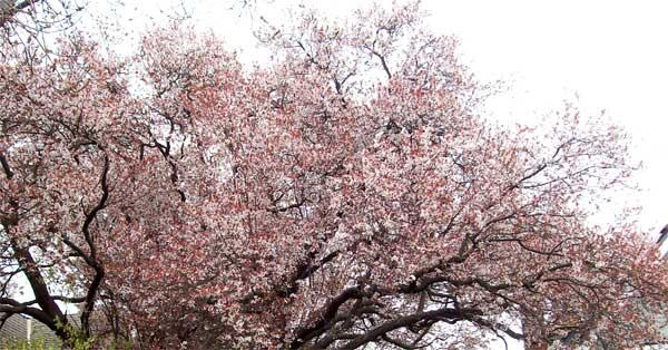 tree-in-bloom