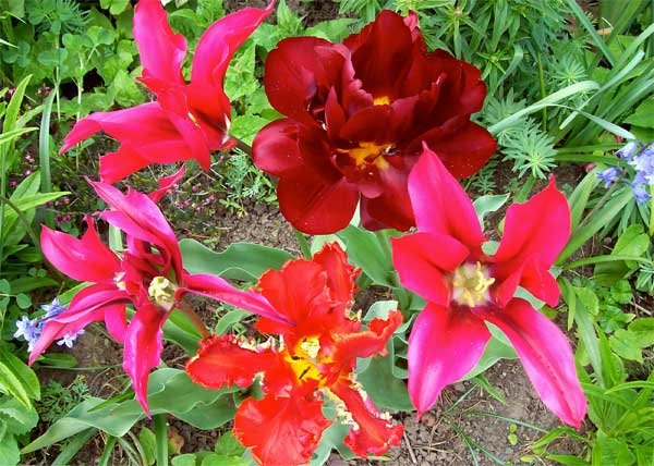hot-tulips1