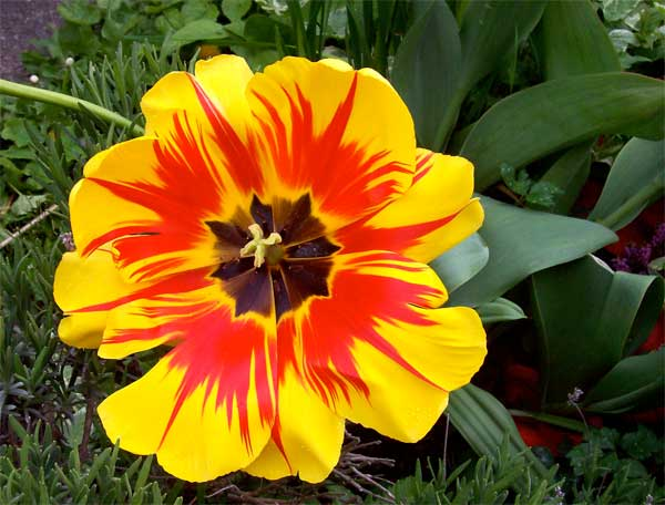 yellow-and-red-tulip1