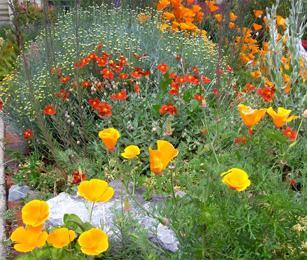 calif-poppies