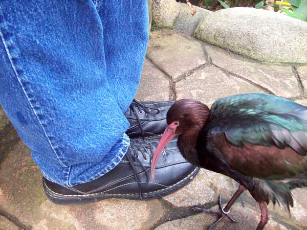 peruvian-foot-pecker