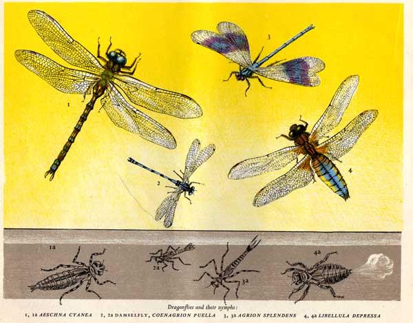 dragonflies-yellow
