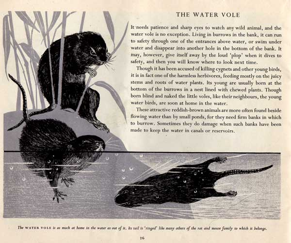 water-vole