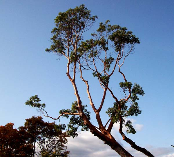 arbutus-in-light
