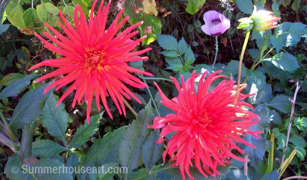 red-dahlias-wm